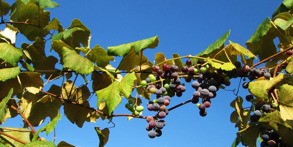 vineyard-1051683_960_720